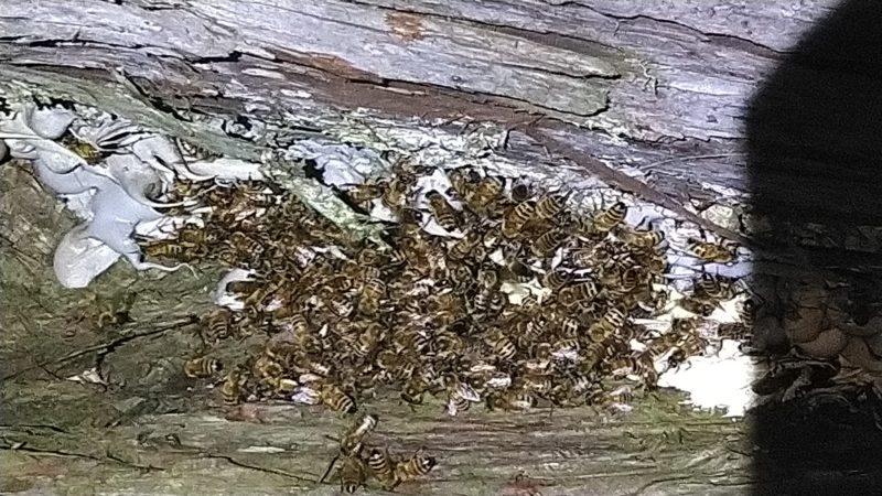 木の間にミツバチの巣